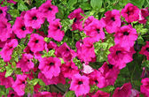 Bunch of purple petunias with green leaves — Stock Photo