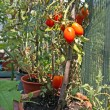 Red tomatoes grown in a pot of a garden in the city — Stock Photo