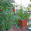 Luxuriant plants with tomatoes grown in a pot on the terrace of - Stock Photo