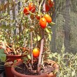 Stock Photo: Red tomatoes grown in pot on terrace of House