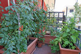 Luxuriant plants with tomatoes grown in a pot on the terrace of — Stock Photo