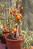 Red tomatoes grown in a pot on the terrace of a House — Stock Photo