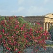 Evocative and ancient Greek temple and a well preserved Oleander — Stock Photo