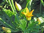 Reife zucchini und knochenmark mit gelben blüten im sommer — Stockfoto