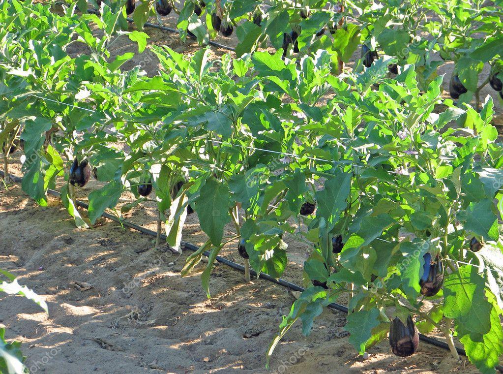 reifen pflanzen von aubergine und aubergine im sommer stockfoto chiccododifc 11990266. Black Bedroom Furniture Sets. Home Design Ideas