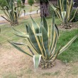 Green agave plants and aloe - Stockfoto