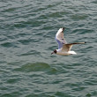 Mighty Seagull that flies over seof Venice — Stock Photo #12127031