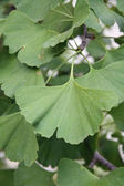 Green plant Ginko biloba leaf — Stock Photo