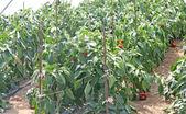 Planten en rijpe paprika gekweekt in een kas — Stockfoto