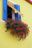 Red flowers Geraniums on the Yellow House on the island of buran — Stock Photo