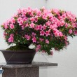 Stock Photo: Satsuki Azalea bonsai in flowering boom