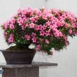 Satsuki Azalea bonsai in flowering boom — Stock Photo