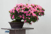 Satsuki Azalea bonsai in flowering boom — Stock Photo