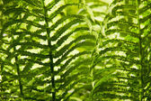 Folhas de samambaia fundo — Foto Stock