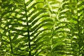 Paproci liście tło — Zdjęcie stockowe