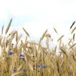 Wheat and cornflowers — Stock Photo
