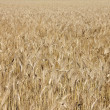Wheat field — Stock Photo #11835870