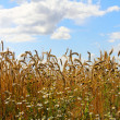 Wheat field with chamomiles — Stock Photo