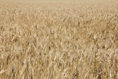 Pole pszenicy — Zdjęcie stockowe