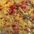 Clusters of red rowan — Stock Photo