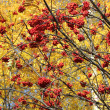 Clusters of red rowan — Stock Photo #11391010