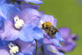 Bee collecting nectar from a flower — Stock Photo