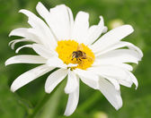 Bee on chamomile collecting honey — Stock Photo