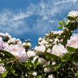 Rhododendron bush and a blue sky with clouds - Stock Photo