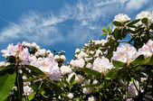 Rhododendron bush and a blue sky with clouds — Stock Photo