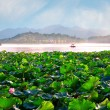 Lotus plantation - Stock Photo