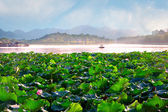 Lotus plantation — Stock Photo