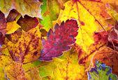 Foglie di autunno con gelo — Foto Stock