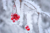 Red berries in winter — Stock Photo