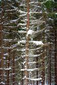 Alberi in inverno — Foto Stock