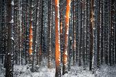 Pine trees in winter — Stock Photo