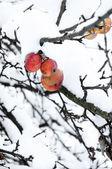 Bevroren appels — Stockfoto