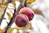 Apples in autumn — Stock Photo