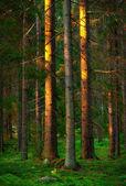 Trees in evening light — Stock Photo