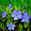 Stock Photo: Several periwinkle