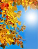 Autumn oak leaves against the blue sky — Stock Photo