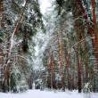 Royalty-Free Stock Photo: Snowy winter pine forest
