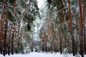 Snowy winter pine forest — Stock Photo
