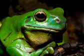 Green tree frog — Stock Photo