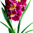 Purple orchid - Foto de Stock  