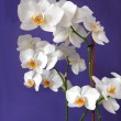 White orchid on lila background - Foto de Stock  