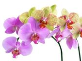 Pink and yellow orchids — Stock Photo