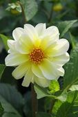 White and yellow flower of dahlia — Stock Photo