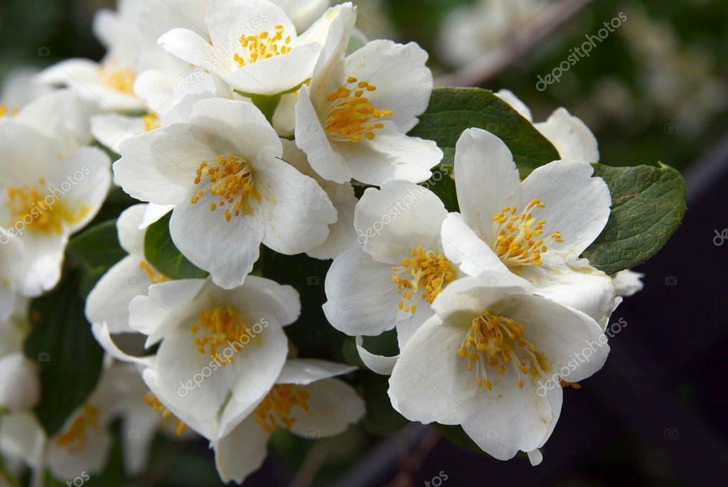 jasmin arbuste fleurs blanches odorantes photographie manka 11557525. Black Bedroom Furniture Sets. Home Design Ideas