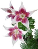 Lilies with pink and purple petals and oranhe pollen — Stock Photo