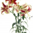Stock Photo: Red and yellow lilies